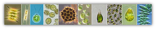 Different Species of Phytoplankton