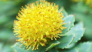 Health News - Rhodiola